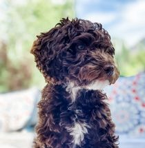 Poodle mix dog uses maxxiomega oil for dogs for heatlhy skin and shiny coat