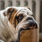 Bulldog calms down in storms fireworks when on maxxicalm non-drowsy canine supplement from maxxipaws