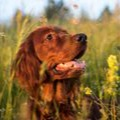 Irish Setters with beautiful soft shiny coat thanks to maxxiomega omega for dogs