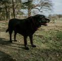 maxxicardio black labrador with heart murmur