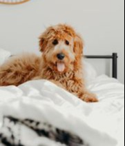 Doodle dog suffering from pee dribbling using maxxiUtract for dogs