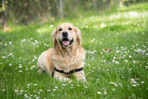 Old labrador dog using maxxiUtract to help with UTI