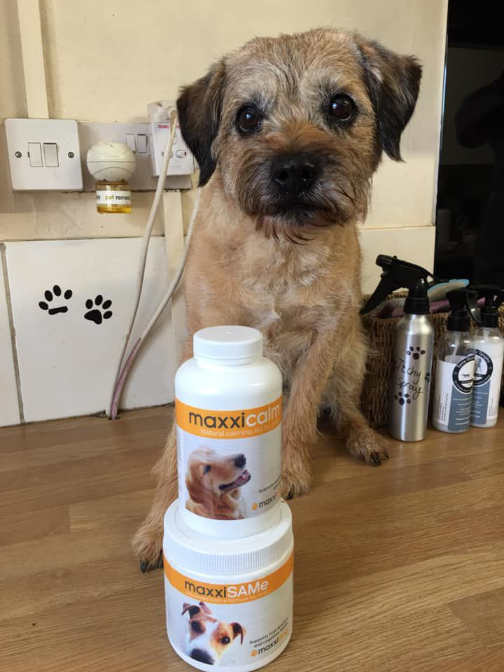 Ted small dog using maxxiSAMe for dogs and maxxicalm canine calming aid