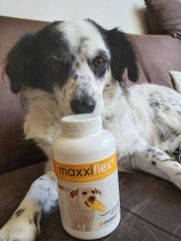 Dog with bottle of maxxiflex+ dog joint supplement
