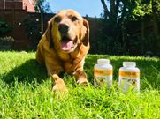 Duke is a 10 years old Labrador loves the taste of maxxiflex+ joint supplement for dogs