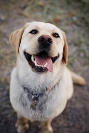 Lab with elbow dysplasia is benefitting from maxxiflex+ dog joint supplement