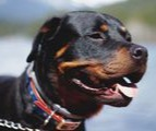 Rottweiler prone to hip problems uses maxxiflex+ as prevention