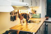Cat Lucy using maxxiUtract for cat to help with peeing accidents