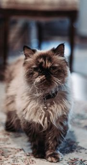 Cat Tiberius suffers terribly from UTI but since starting maxxiUtract for cats has had no UTI recurrance