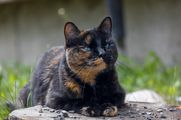 Tortie cat, Callie using maxxiUtract feline urinary and bladder support to prevent UTI recurrance