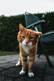 Old cat suffering from cat dementia feeling better when using maxxiSAMe cognitive support for cats