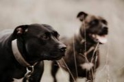 Two dogs with heart worm and heart murmur