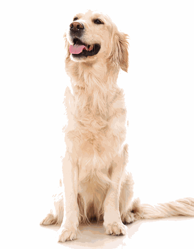 Beutiful smiling Golden Retriever uses maxxiflex+ dog joint supplement to prevent future joint problems