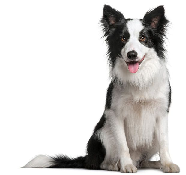 Border Collie with beautiful soft shiny coat with maxxiomega oil for dogs