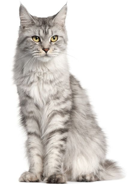 Senior cats benefit much from maxxiSAMe SAM-e for cats