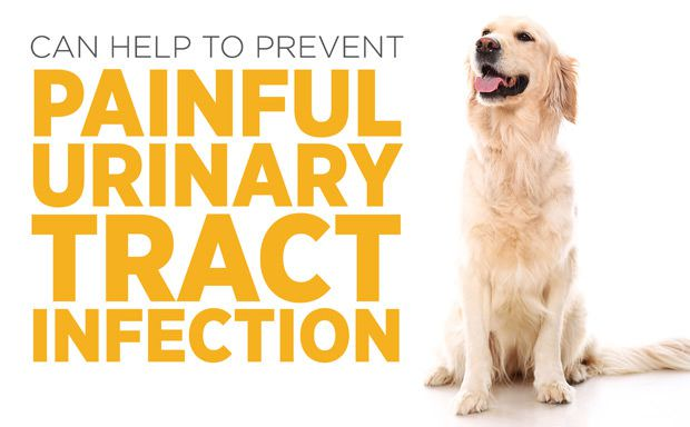 Smiling sitting golden retreiver using maxxiUtract for dogs to prevent painful UTI