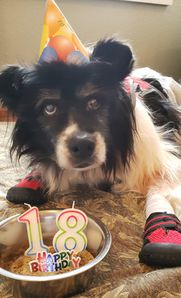 18 year old border collie dog using maxxiSAMe for canine cognitive dysfunction