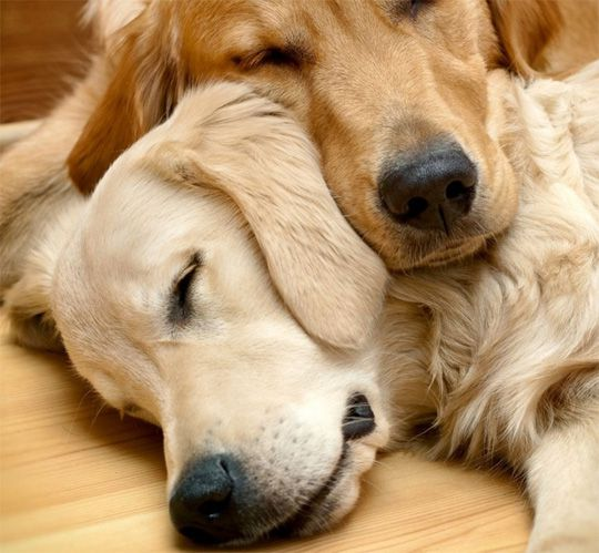 Two senior dogs with liver issues - maxxiSAMe liver support for dogs