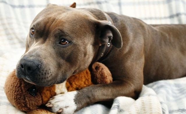 Staffie with dog dementia hugging his favorite toy