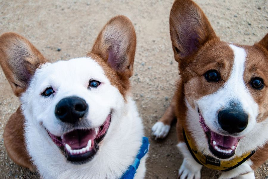 Happy smiling corgis with canine dementia on maxxiSAMe cognitive function support for dogs