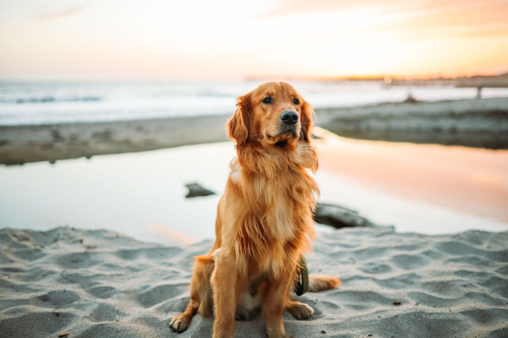 Golder Retriever with beautiful shiny coat on a beach - maxxiomega oil for dogs for healthy skin and shiny coat