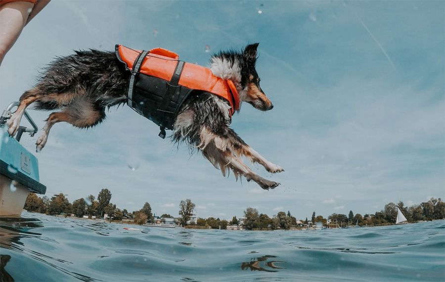 Active dog jumping from a boat getting his energy from maxxiomega omega oil for dogs