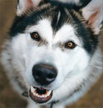 Husky dog using maxxiflex+ for dog joint problems