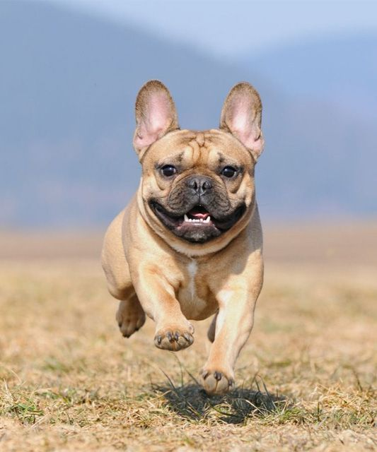 Happy active small dog on maxxiflex+ dog joint supplement for dog joint pain