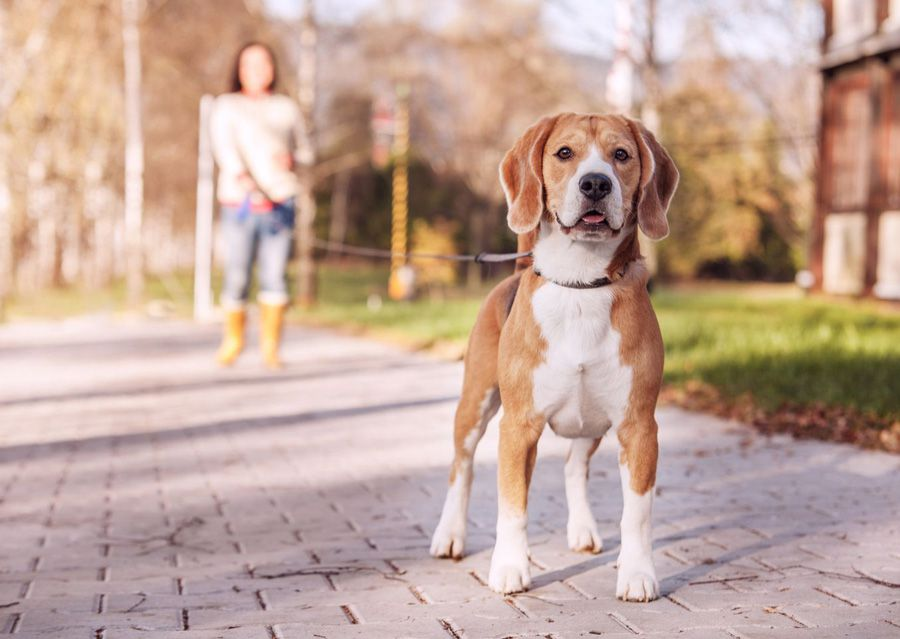 Beagle using maxxiflex+ joint supplement for dogs on a walk