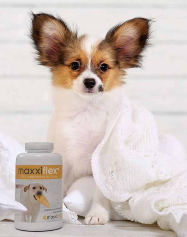 Beautiful small dog with a bottle of maxxiflex+ dog joint supplement
