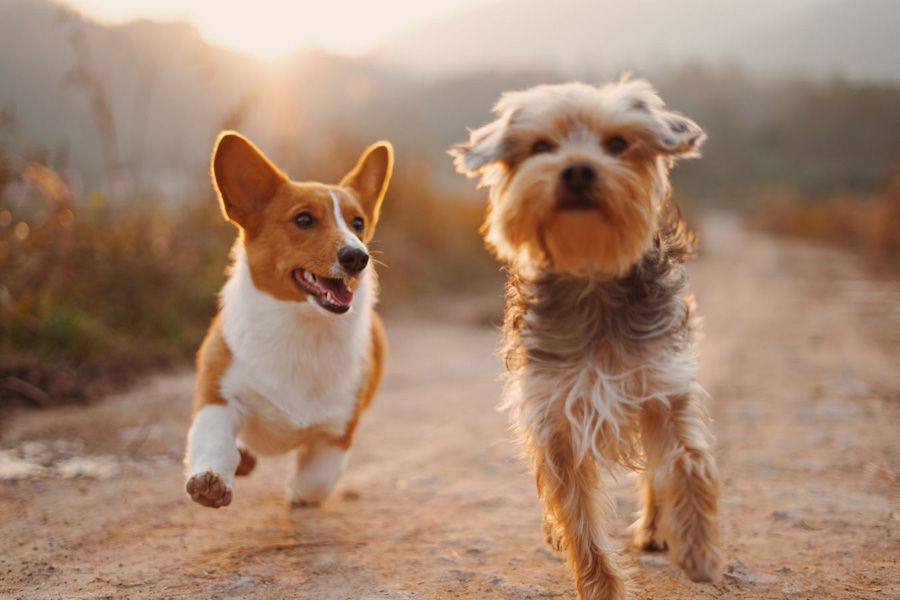 Two happy running dogs with healthy joints using maxxiflex+ joint support for dogs