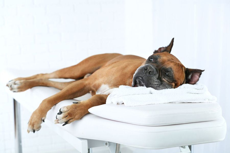 Boxer with dog arthritis lying down on bench waiting for Vet recommending maxxiflex+ dog joint supplement