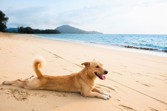 Happy dog with healthy joints lying on a beach
