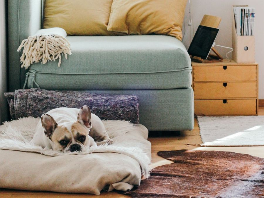 French bulldog suffering from separation anxiety