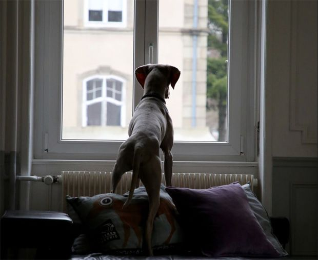 Dog with separation anxiety looking out of the window