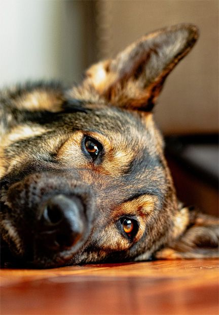Anxious german shephard needs maxxicalm calming tablets from maxxipaws
