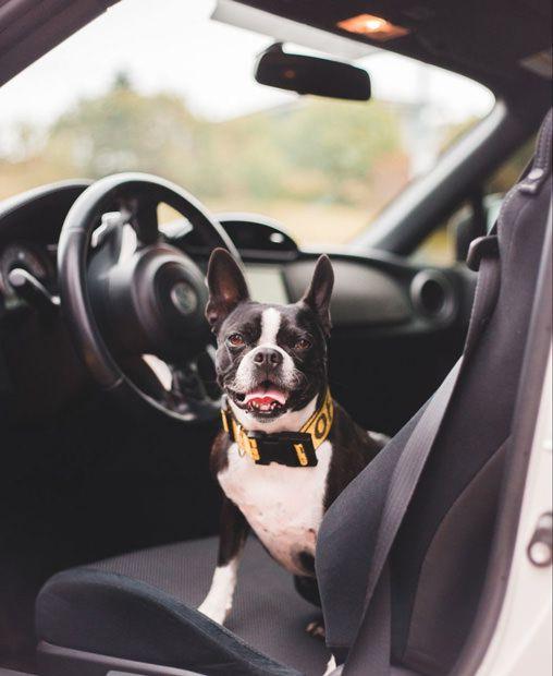 Calm french bulldog loves car journeys