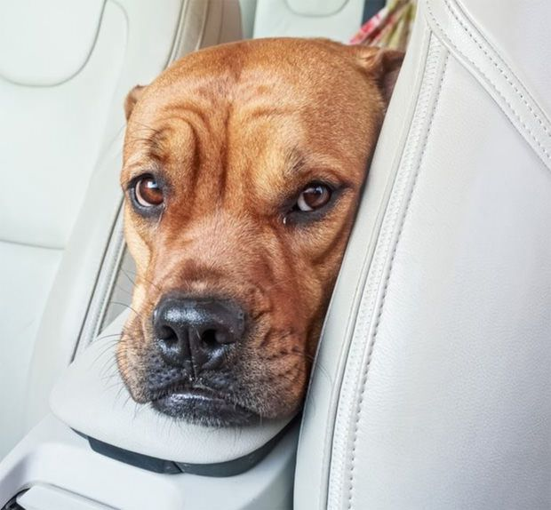 Dog with car anxiety needs maxxicalm calming tablets for dogs