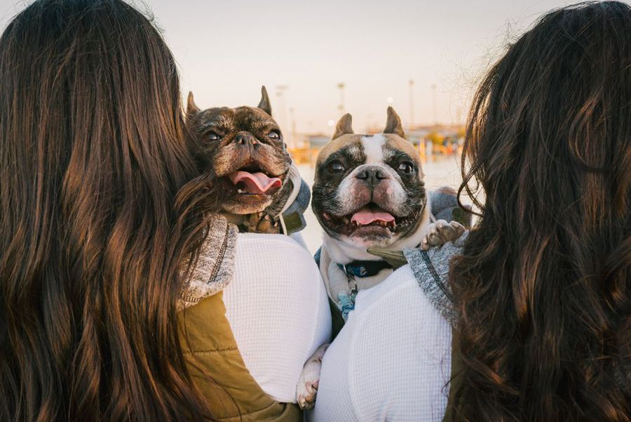 Dogsitter with two happy French Bulldogs using maxxicalm calming tablets for small dogs