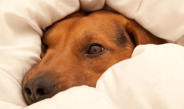 Dog afraid of fireworks hiding under duvet