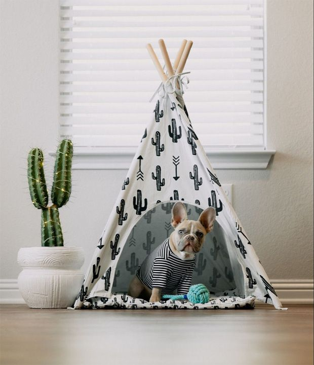 Calm cute French Bulldog moving into tent