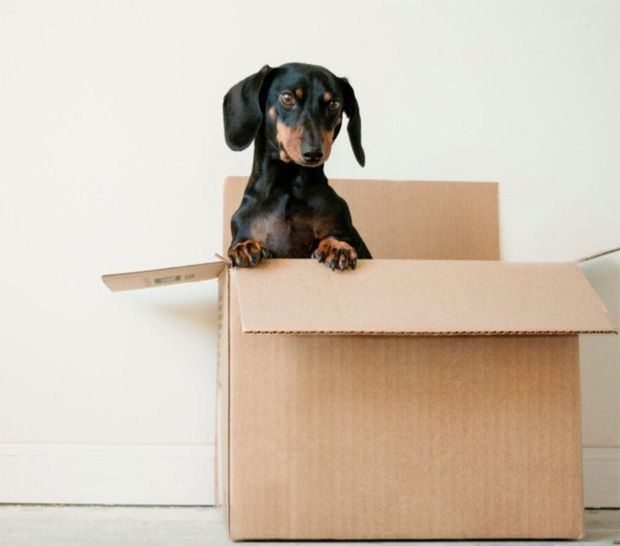 Stressed dog in moving house packing box