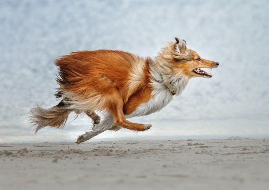 Hyper Collie Dog running fast
