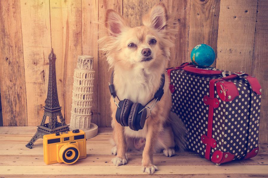 Small dog flying on a vacation with own luggage and relaxed thanks to maxxicalm natural calming aid for dogs