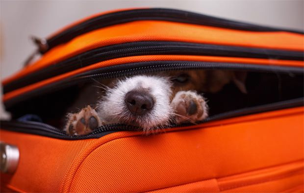 Calm dog using maxxicalm calming tablets for dogs hiding in a suitcase