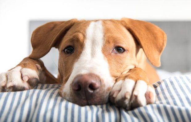 Drowsy dog on dog anxieyt medication