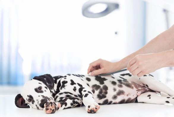 Dog afraid of Vets using maxxicalm calming aid for dogs to relax