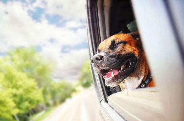 Dog with his head out of the window as maxxicalm calming aid helped to calm his car anxiety