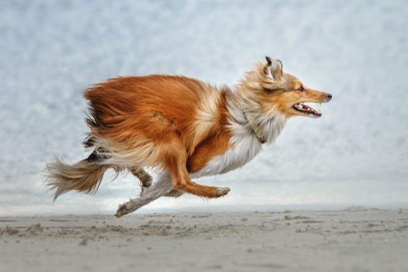 Hyper Collie dog running really fast