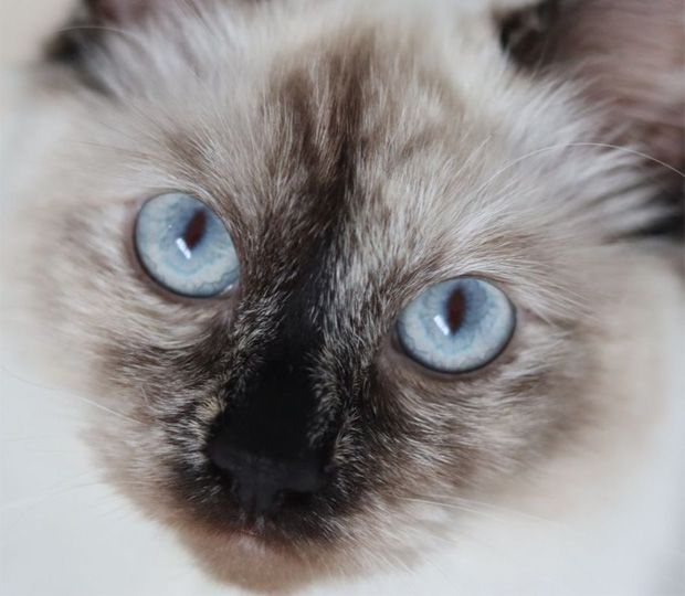 Cat with beautiful blue eyes
